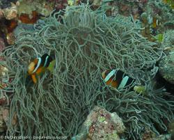 BD-060410-Moalboal--Amphiprion-clarkii-(Bennett.-1830)-[Yellowtail-clownfish].jpg